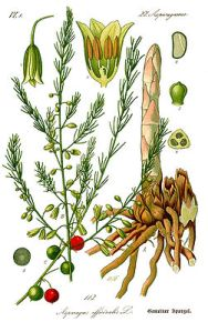251px-Illustration_Asparagus_officinalis0b